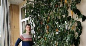Отглеждане на чушки на терасата: градски фермер споделя своя опит