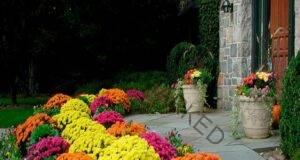 Пресаждане на хризантеми през есента - полезни съвети