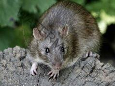 Прогонване на мишките от дома с естествени средства