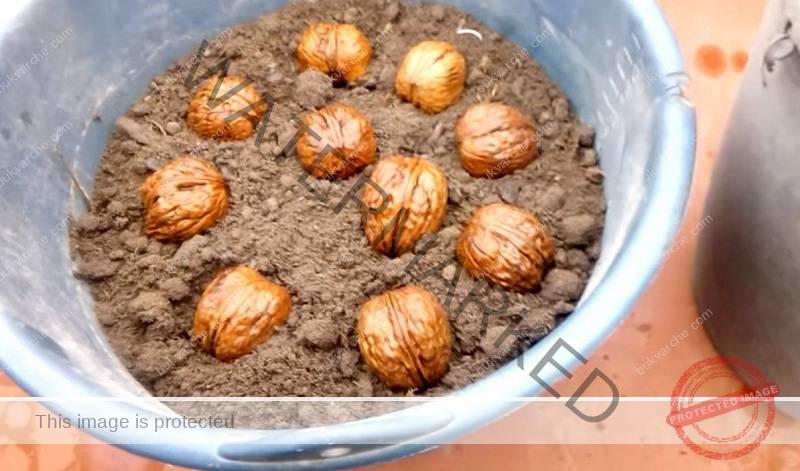 Засаждане на орех от ядка - лесен метод в чашка