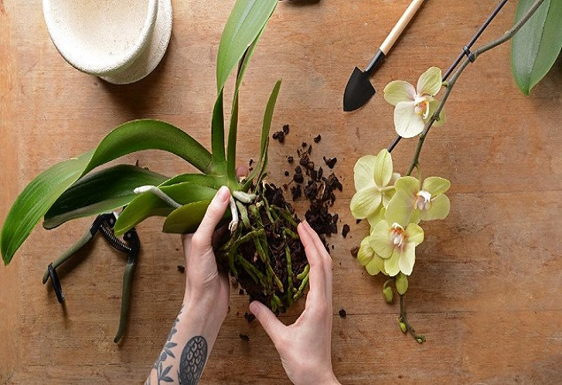 Подрязване на орхидеята и грижа за корените на растението