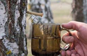Сокът от бреза е дар от природата, който подмладява тялото