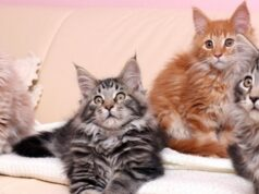 Цветът на котката може да повлияе на съдбата на нейния собственик