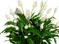 """""""Женско щастие"""" - това цвете привлича късмет и просперитет"""