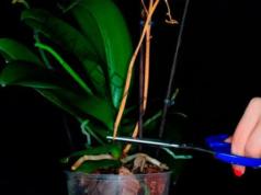 Прецъфтелите цветоноси на орхидеята - какво да правите с тях?