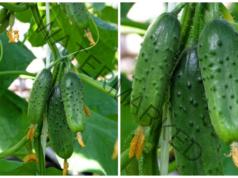 Богата реколта от краставички - прости правила и съвети