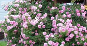 Засаждане на рози в ранна пролет - следвайте тези съвети!