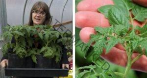 Разсад домати за богата реколта - важни правила за отглеждане