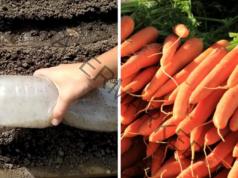 Хитър начин за засяване на моркови за богата реколта