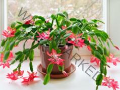 Вредни растения за дома, които привличат лош късмет