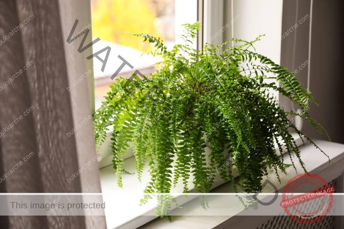 Вредные растения для дома. Папоротник