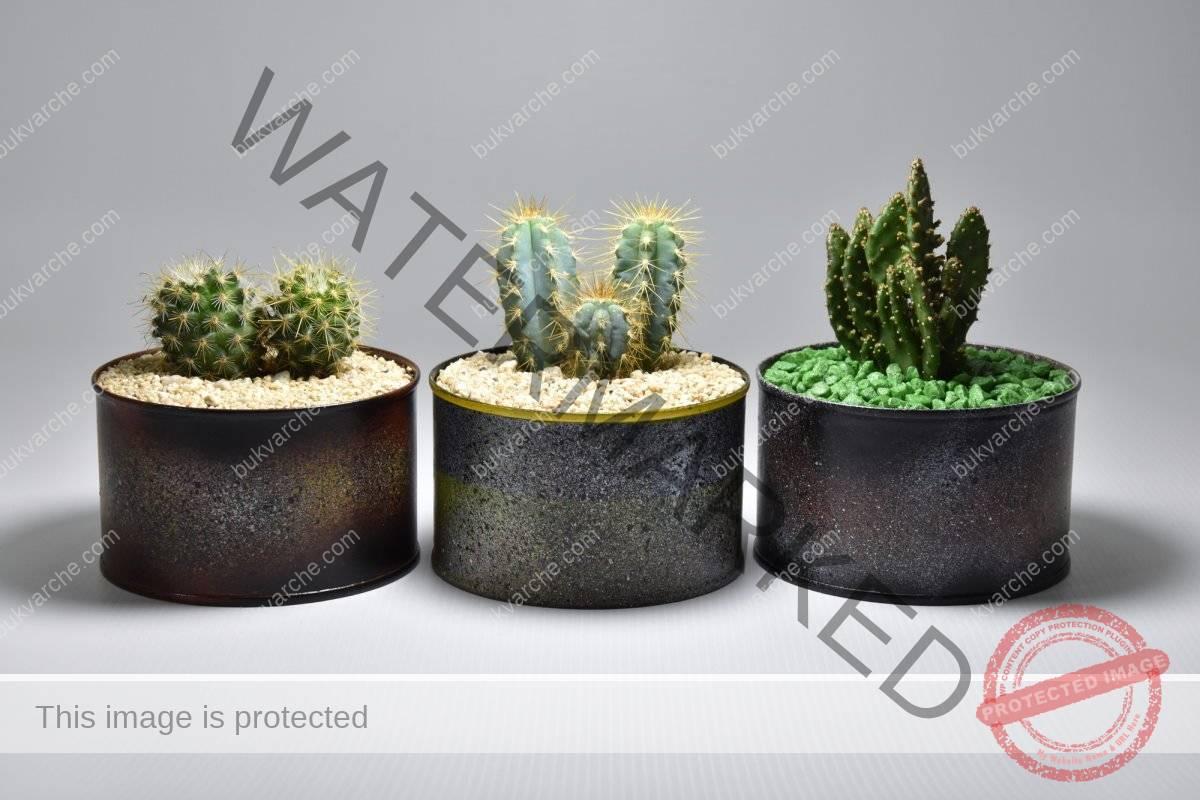 Вредные растения для дома. Кактусы