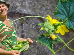 Добра реколта от краставици въпреки безплодните цветове