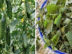 Коприва и живовляк при засаждане на краставиците
