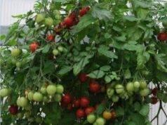 Отглеждане на домати и краставици на балкона