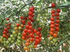 Подхранване и поливане на доматите за богата реколта