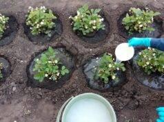 Подхранване на ягодите по време на цъфтеж за добра реколта