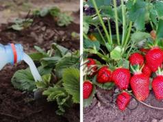 Подхранване на ягодите с мая за богата и сладка реколта