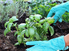 Полезни свойства на босилека за растенията в градината