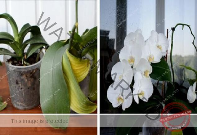 Правилни грижи за орхидеята: Съживете любимото си цвете!
