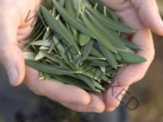 Чай от маслинови листа предотвратява инсулт и облекчава диабета