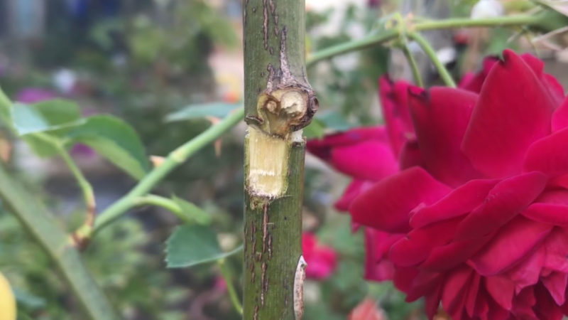 Вкореняване на роза - необичаен, но успешен метод