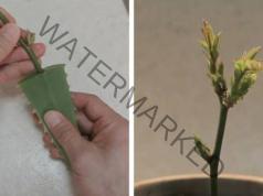 Вкореняване на рози - много лесен и успешен метод