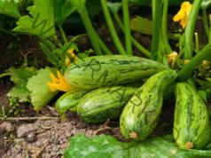 Гниенето на тиквичките в градината може да бъде предотвратено