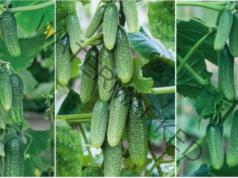 Грижа за краставиците със сода за хляб - подхранване и защита