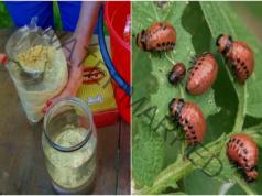Колорадският бръмбар ще напусне градината ви с това средство