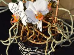 Корените на орхидеята излизат от саксията? Вижте защо!