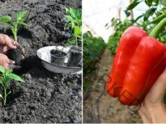 Отглеждане на пипер: 6 полезни съвета за добра реколта