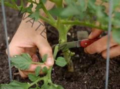 Правилната грижа за доматите е гаранция за добра реколта