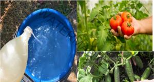 Разтвор на суроватка - ефективен тор за домати и краставици