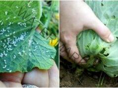 Срещу охлювите и листните въшки в градината: ефективно средство