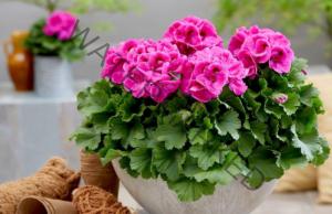 Стайни растения, които привличат щастие и богатство в дома ви