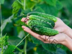 Горчиви краставици - разочарование за всеки градинар