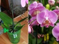 Домашен тор за орхидеи - буйни цветове след няколко поливания