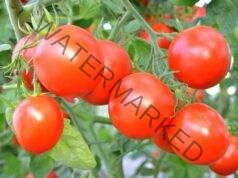 Правилни грижи за доматите за здрава реколта - няколко съвета