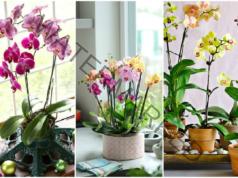 Размножаване на орхидея: съвет от опитен цветар