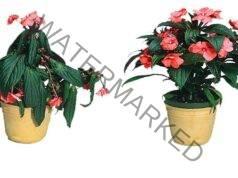 Разтвор за стайни цветя, който ги връща към живота