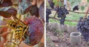 Защита на гроздето от оси. Какво трябва да направите?