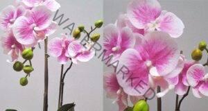 Орхидея фаленопсис: Тайната на красивите цветове от градинар
