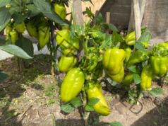 Прищипване на пипера за богата реколта от чушки