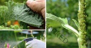Средства срещу листните въшки - полезни домашни рецепти