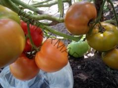 Ускоряване процеса на узряване на доматите - лесен трик