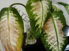 Защо стайните растения изсъхват и листата почерняват?