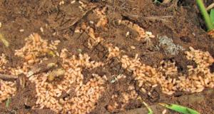 Подхранване с просо за по-богата реколта в градината