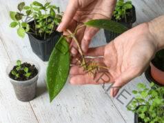 Размножаване чрез резници - много лесен начин