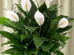 Цветето спатифилум ще цъфти обилно, ако следвате тези съвети